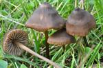 Papillate Pinkgill (Entoloma papillatum)
